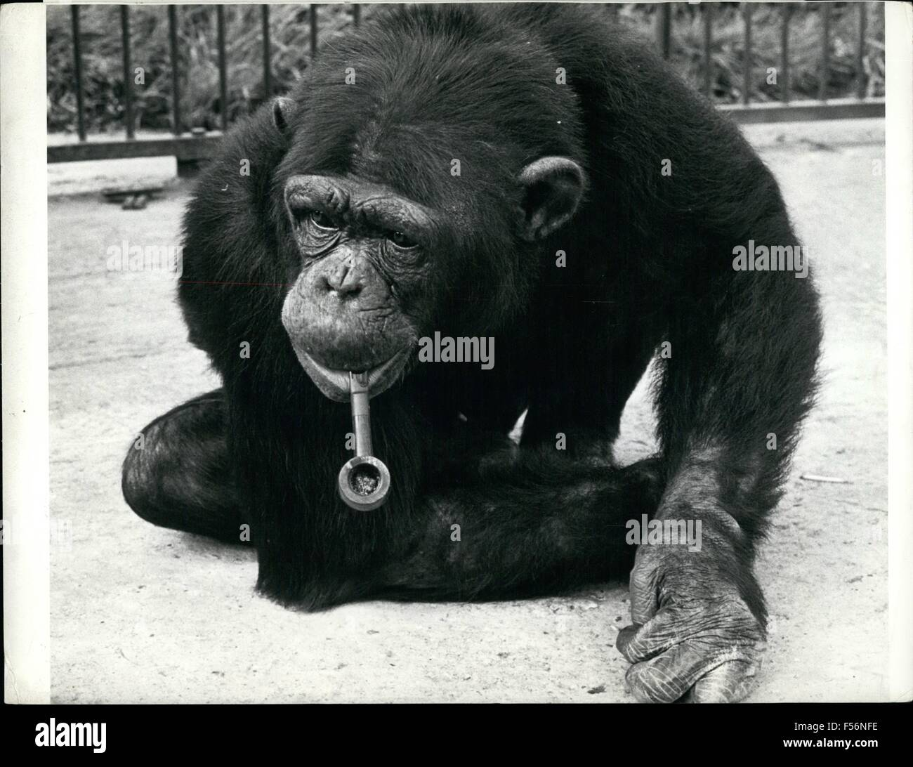 1972 - chimpanzee Chimp's Pipe of Peace Billy the kid, an eight-year-old chimpanzee of Cromer Zoo in Norfolk, England, Stock Photo