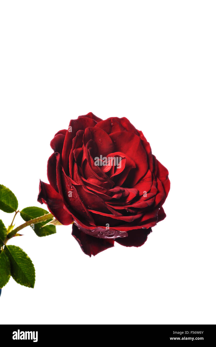 Rosa Dublin Bay, climbing red rose. - Stock Image