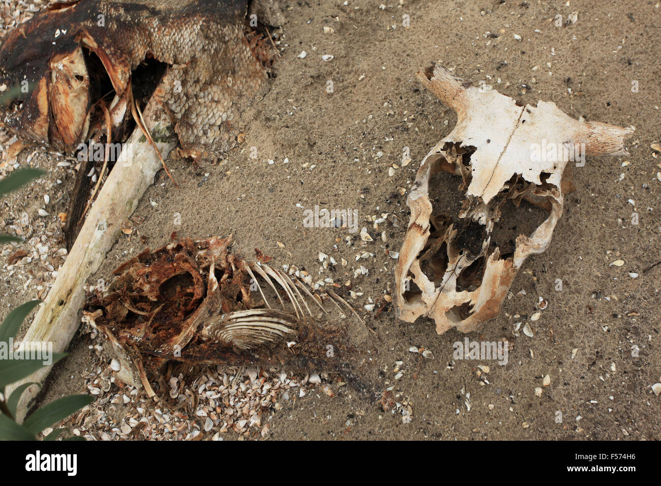 Animal skeletons along the shore of the cooling lakes of the Chernobyl nuclear power plant. Pripyat (river), Exclusion - Stock Image