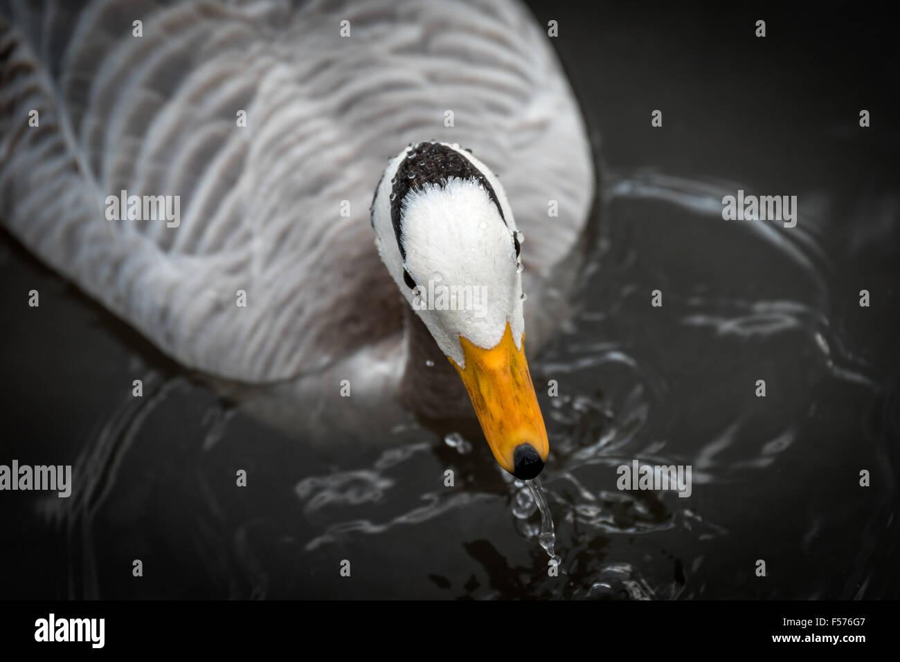Slimbridge Wildfowl - Stock Image