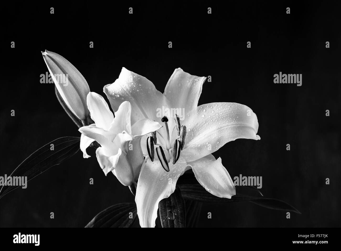 Close-up of white and pink Lily (lilium) over dark background - Stock Image