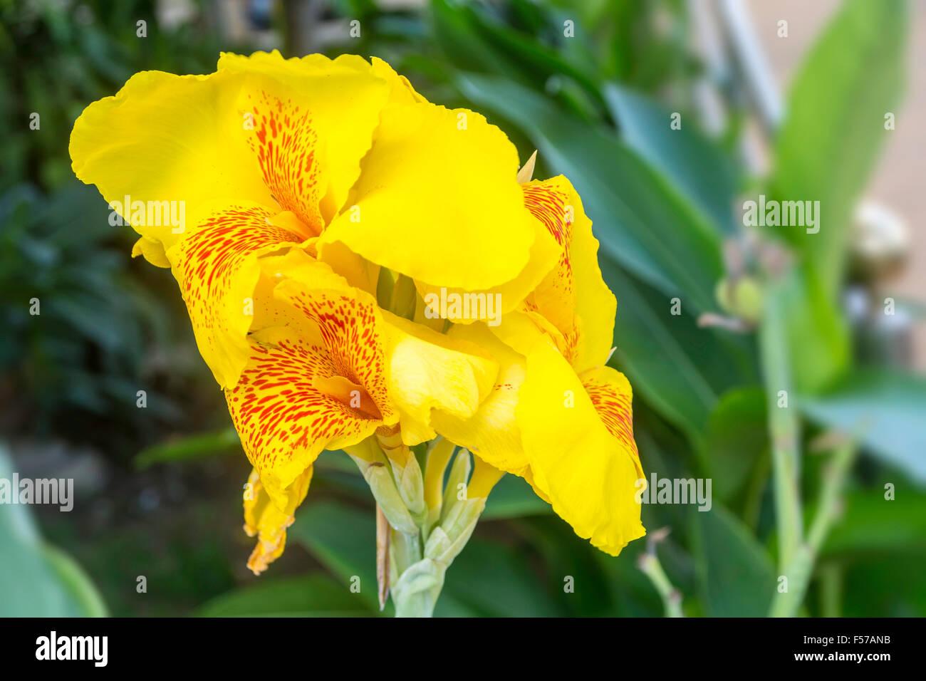 Canna Flower Stock Photos Canna Flower Stock Images Alamy