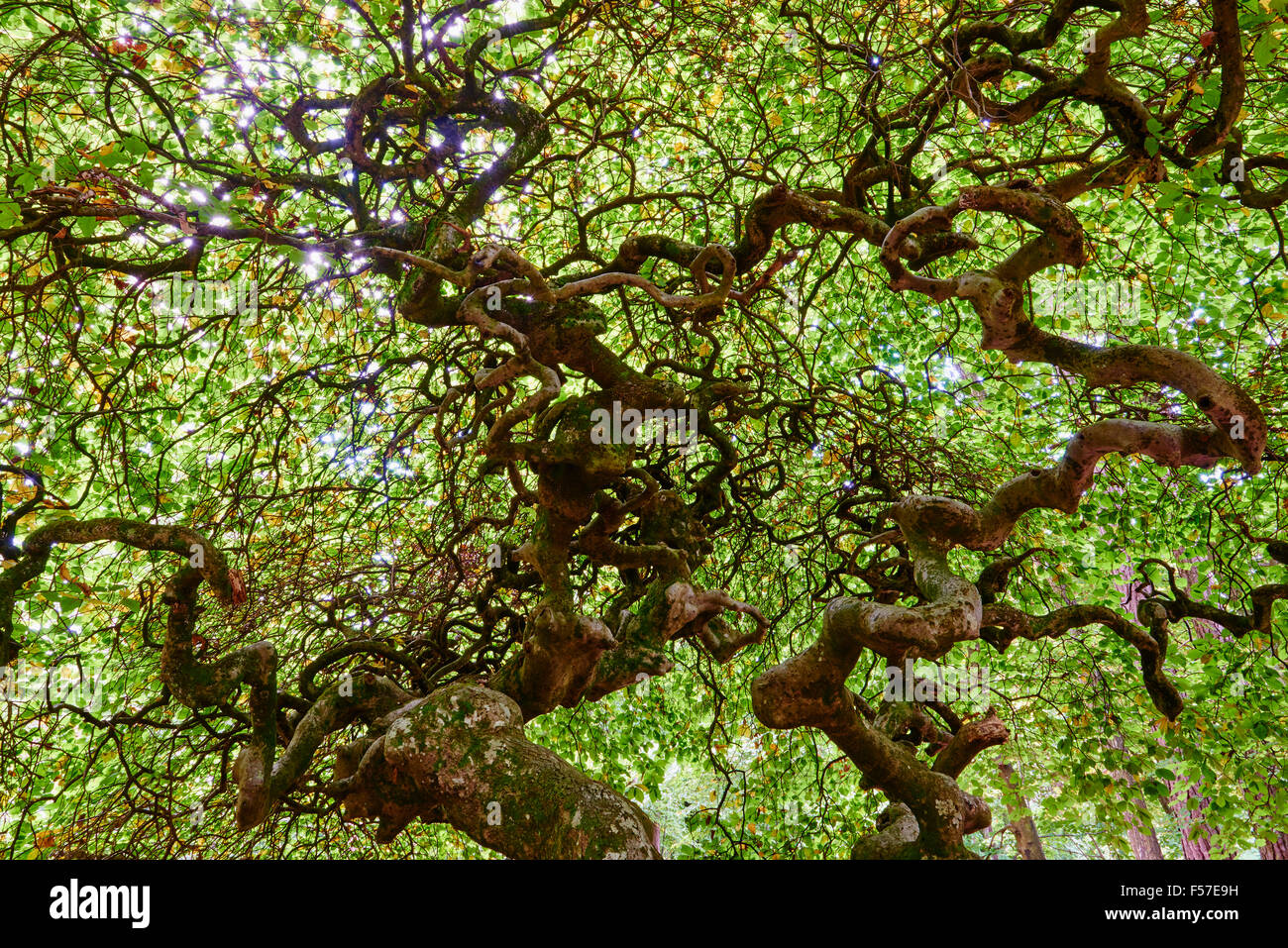France, Champagne, twisted beech tree at Les Faux de Verzy forest - Stock Image