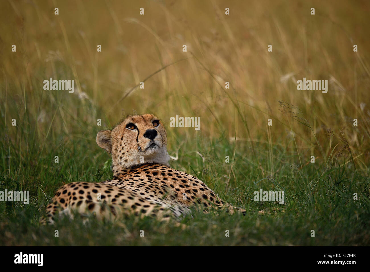 CHEETAH ON A BREEZY DAY ! - Stock Image