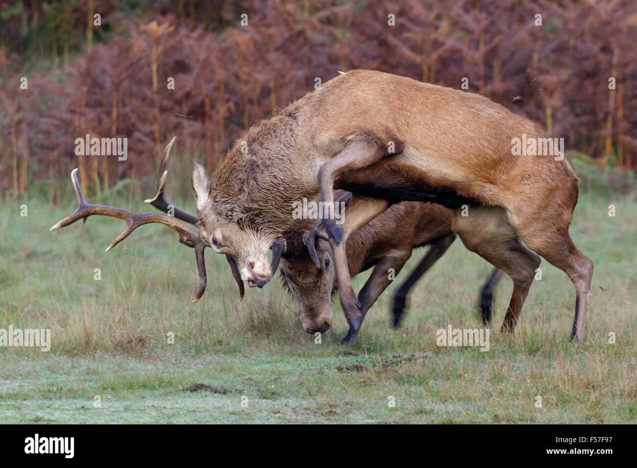 A pair of Red Deer rut stags (Cervus elaphus) fighting, dueling or sparring on a crisp morning. - Stock Image