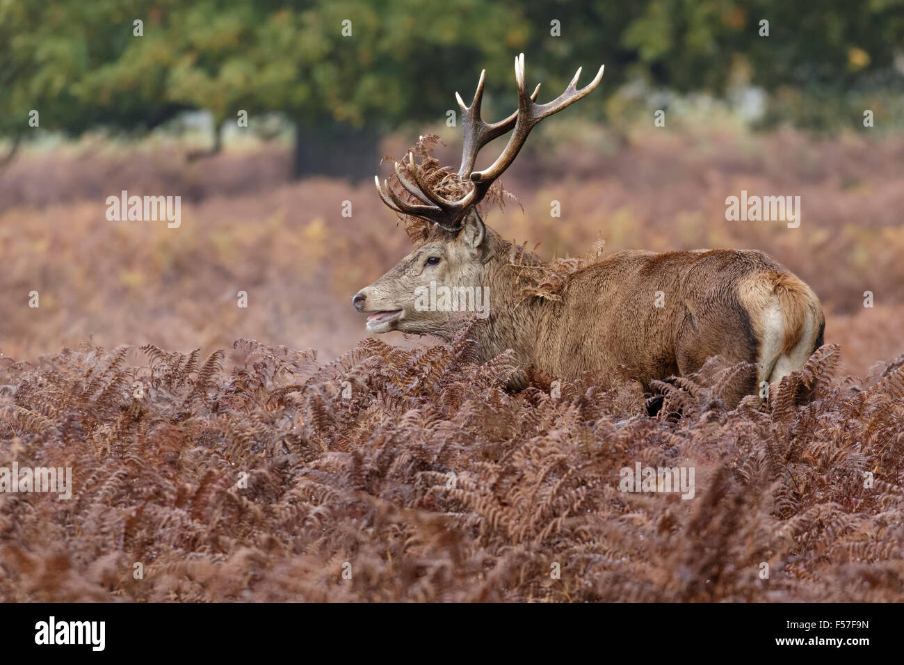 Red Deer rut stag (Cervus elaphus) among the bracken in autumn. - Stock Image