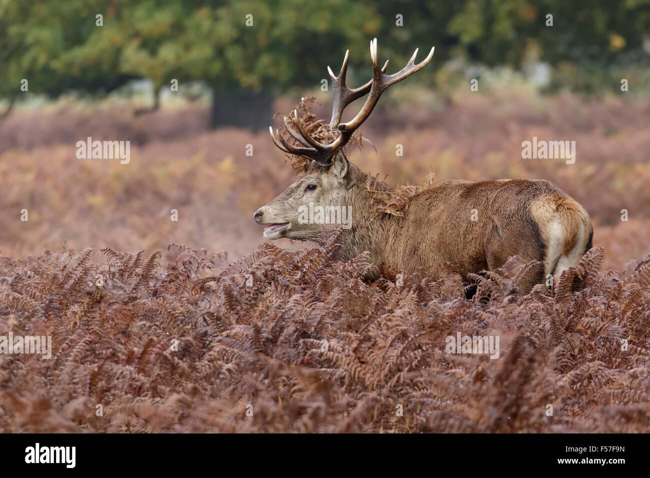 Red Deer rut stag (Cervus elaphus) among the bracken in autumn. - Stock Image