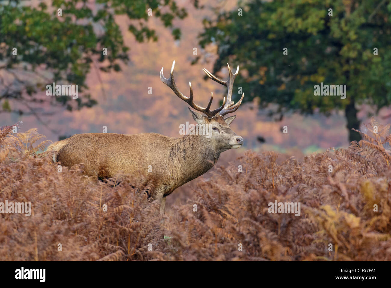 Red Deer stag among the bracken in autumn. - Stock Image