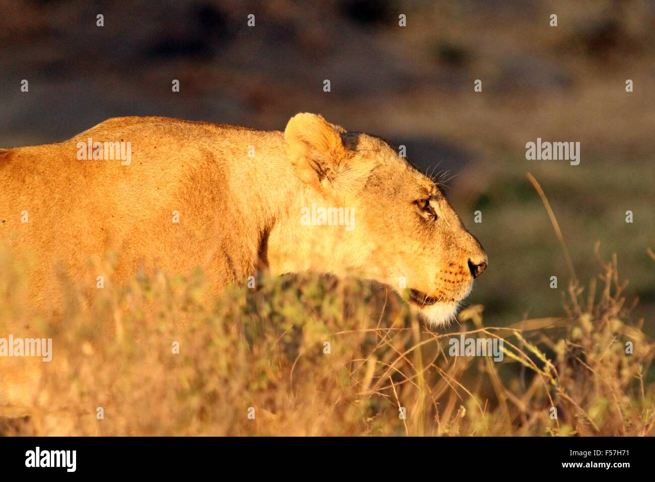 Evening golden light view of a young Lioness (Panthera leo) walking through grass after a kill, Nairobi National - Stock Image
