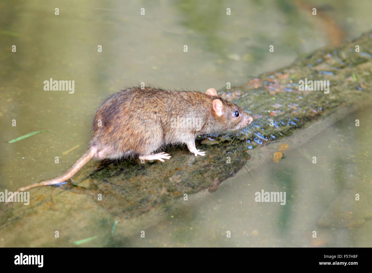 Norway rat (Rattus norvegicus) in Japan - Stock Image
