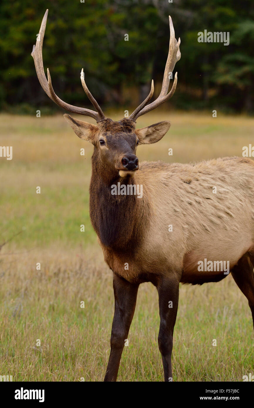 A front portrait view of a young bull elk  Cervus elaphus, standing in a meadow in Jasper National Park in Alberta - Stock Image