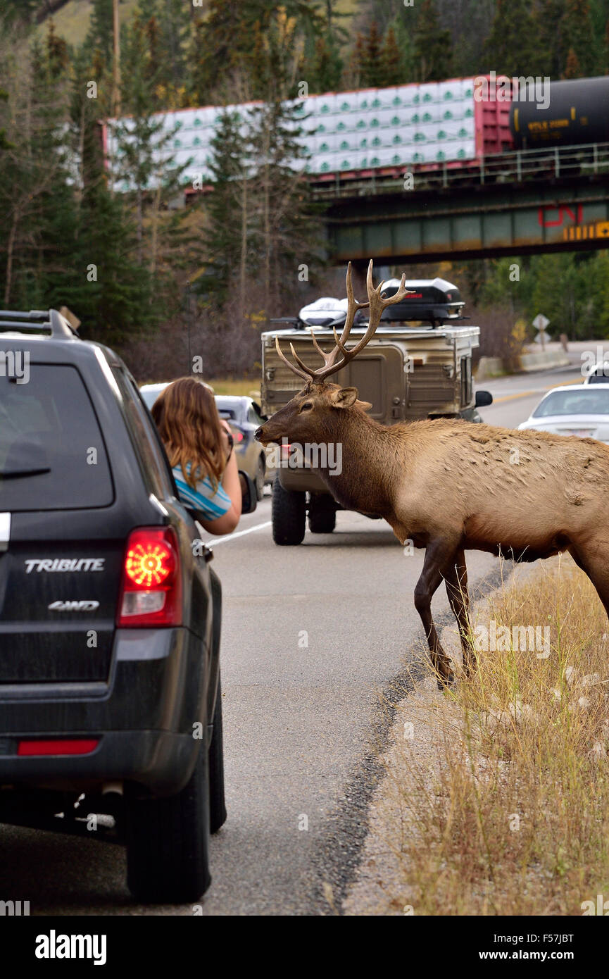 A  bull elk crossing on a busy road in Jasper National Park as a young photographer  tries to take a picture - Stock Image