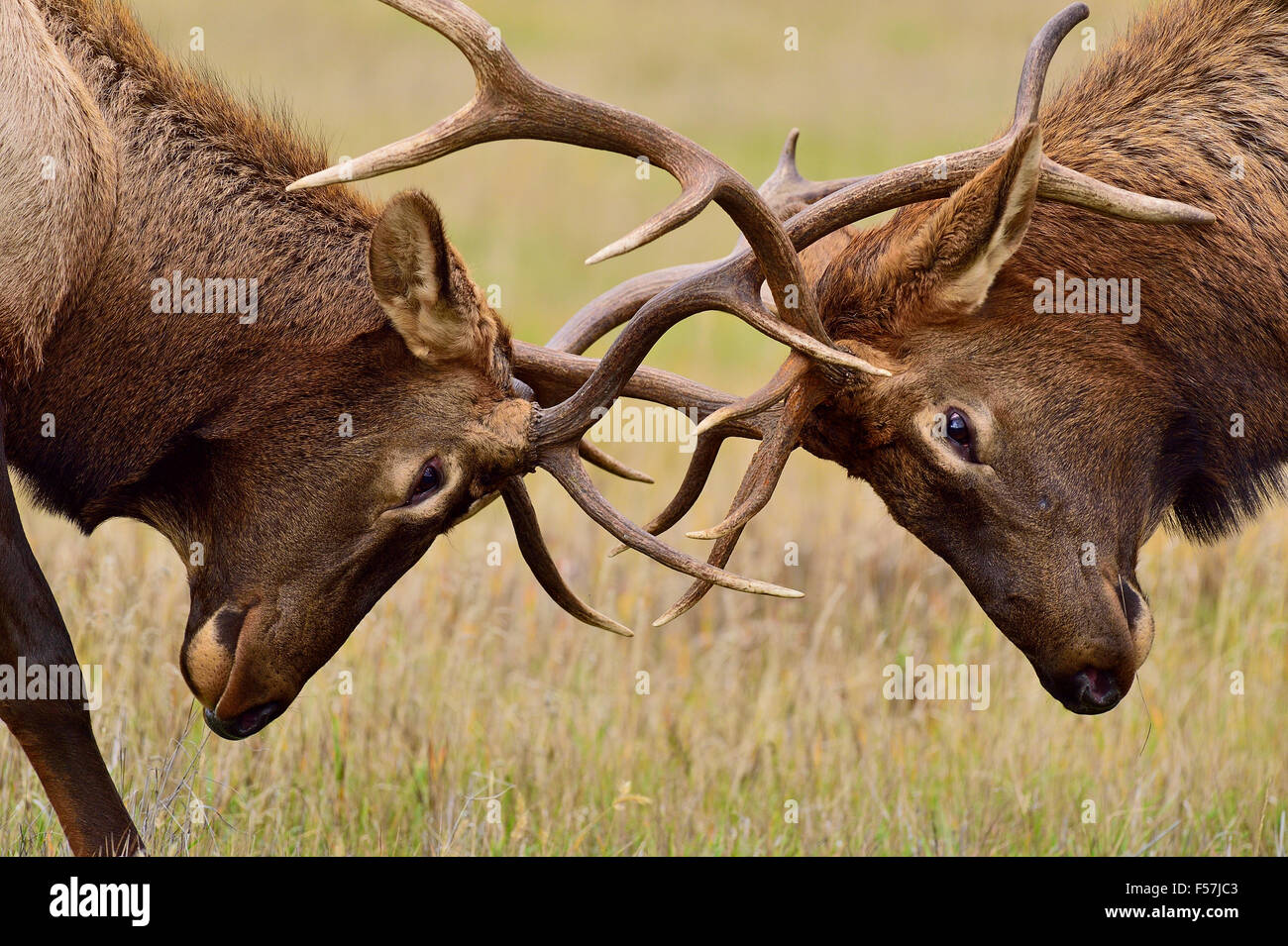 A close up of two young bull elk Cervus elaphus, in an aggressive battle - Stock Image