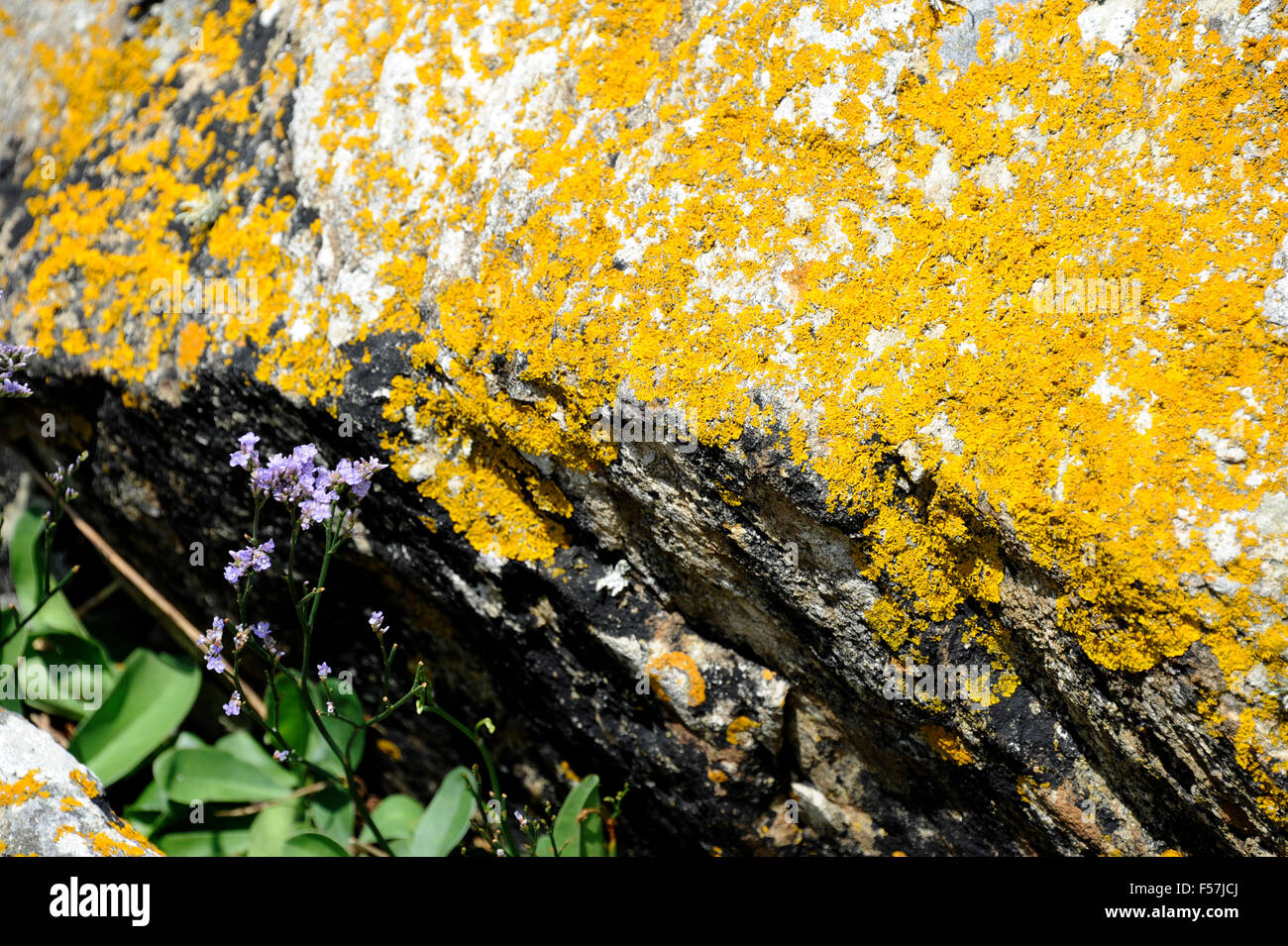Yellow lichen,Port Pors Even,Ploubazlanec near Paimpol,Cotes-d'Armor,Bretagne,Brittany,France - Stock Image