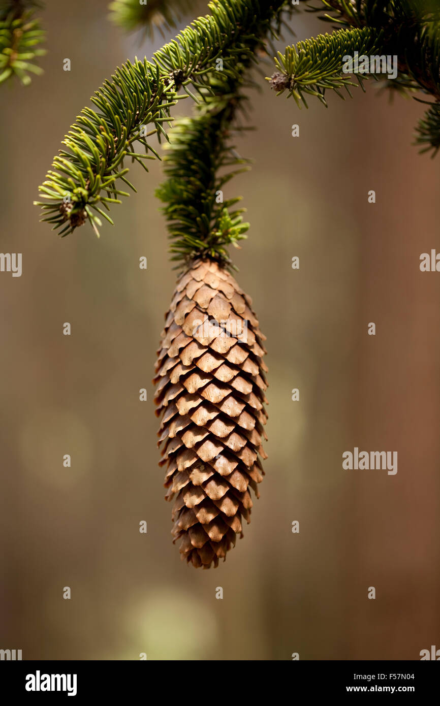 single cone hang on branch spruce - Stock Image