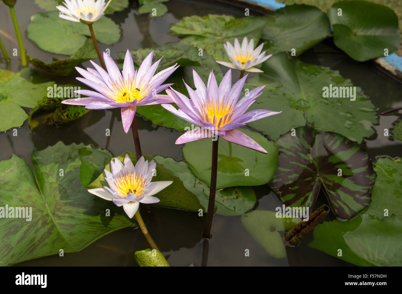 Lotus flowers water blossom gardens pond water lily decoration lotus flowers water blossom gardens pond water lily decoration herbal medicine nobody single flower green mightylinksfo