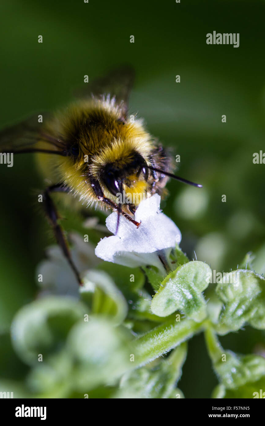 macro of a bee feeding on a flower pollinating other plants in springtime - Stock Image