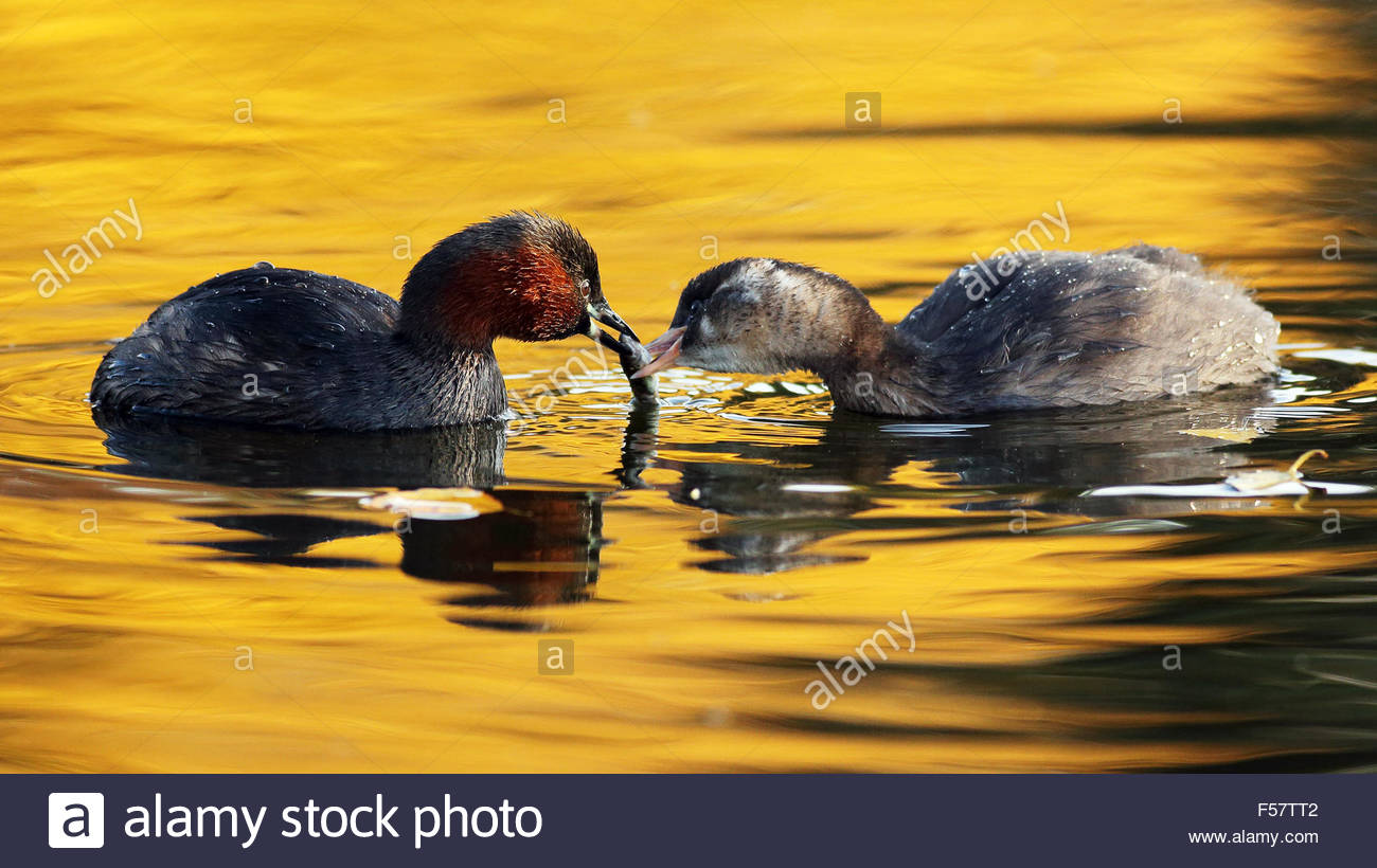 An adult Little Grebe feeding his chick with a caught fish. - Stock Image