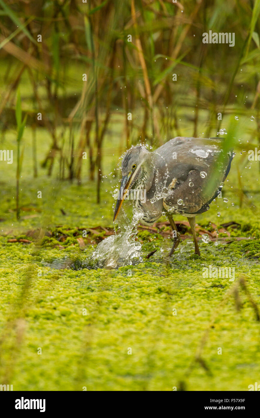 heron striking for its food - Stock Image