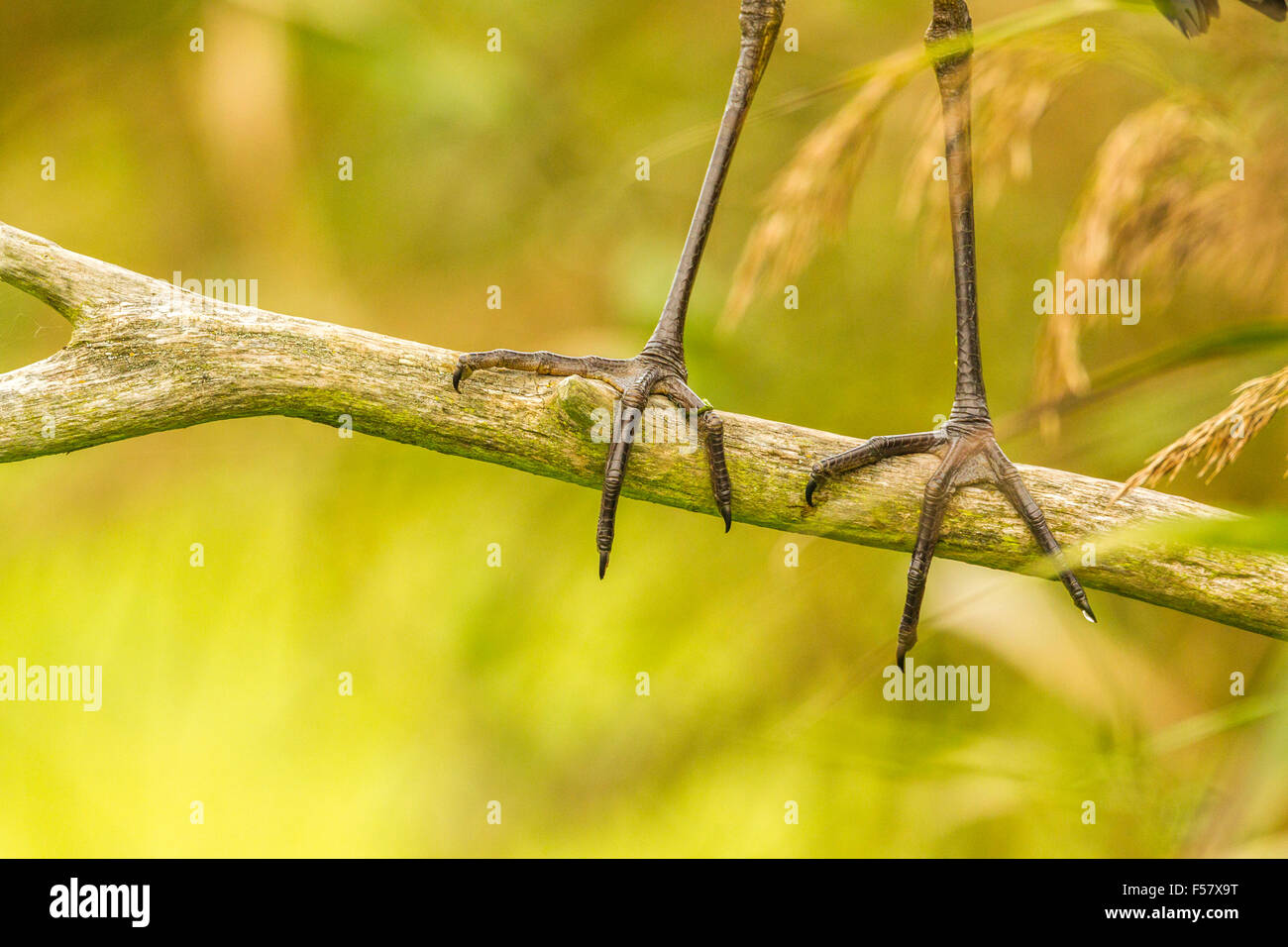 heron's claw on a branch - Stock Image