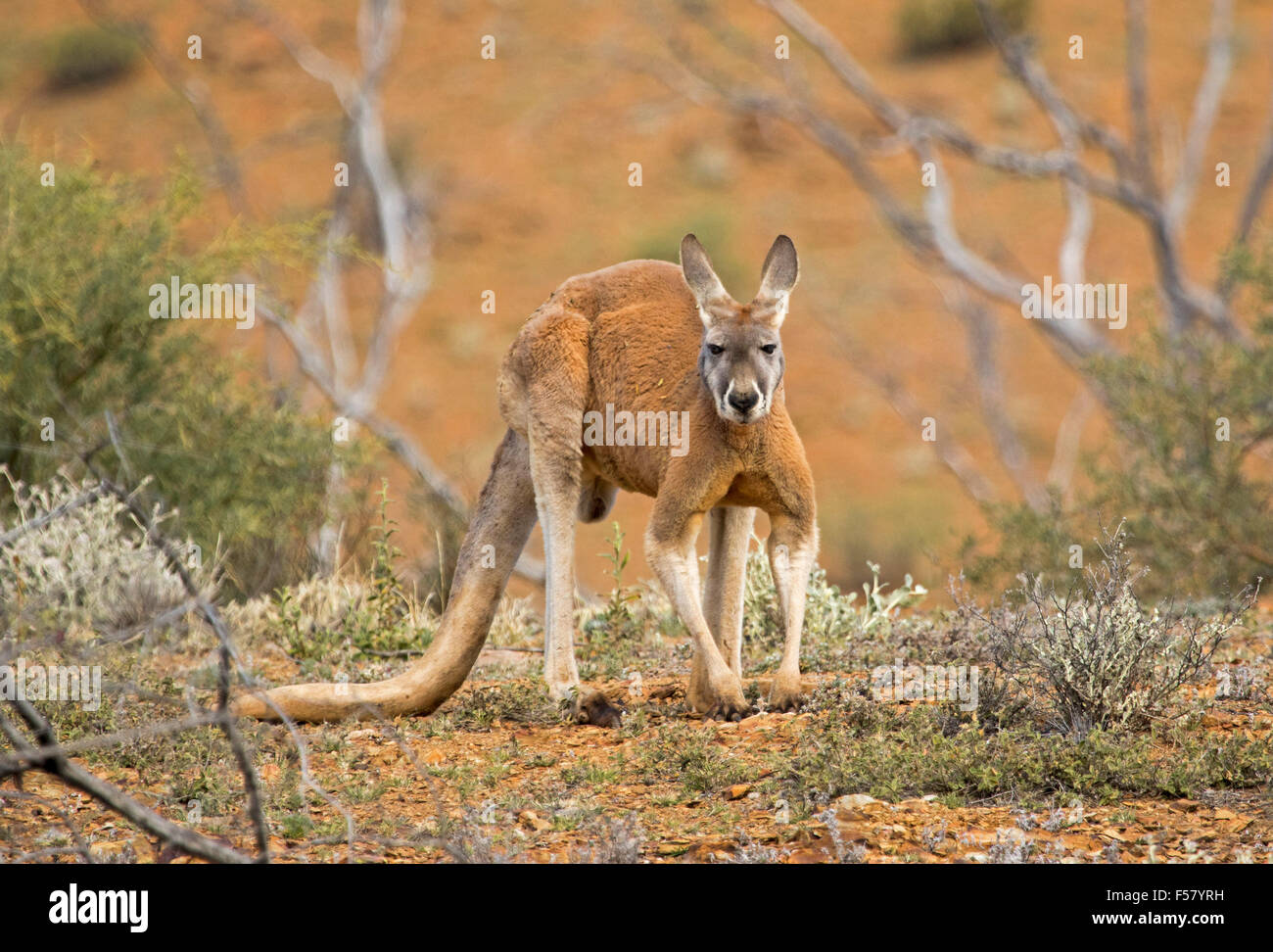 Male red kangaroo, Macropus rufus,  in crouching pose in outback landscape with red soil, low green vegetation & - Stock Image