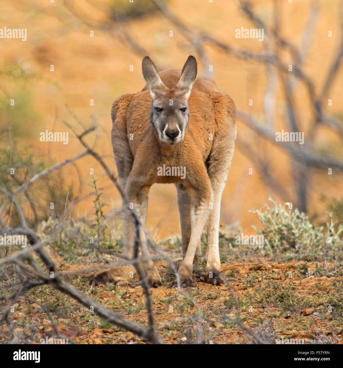 Close-up of male red kangaroo, Macropus rufus, in crouching pose beside low vegetation in red soil of outback Australia - Stock Image