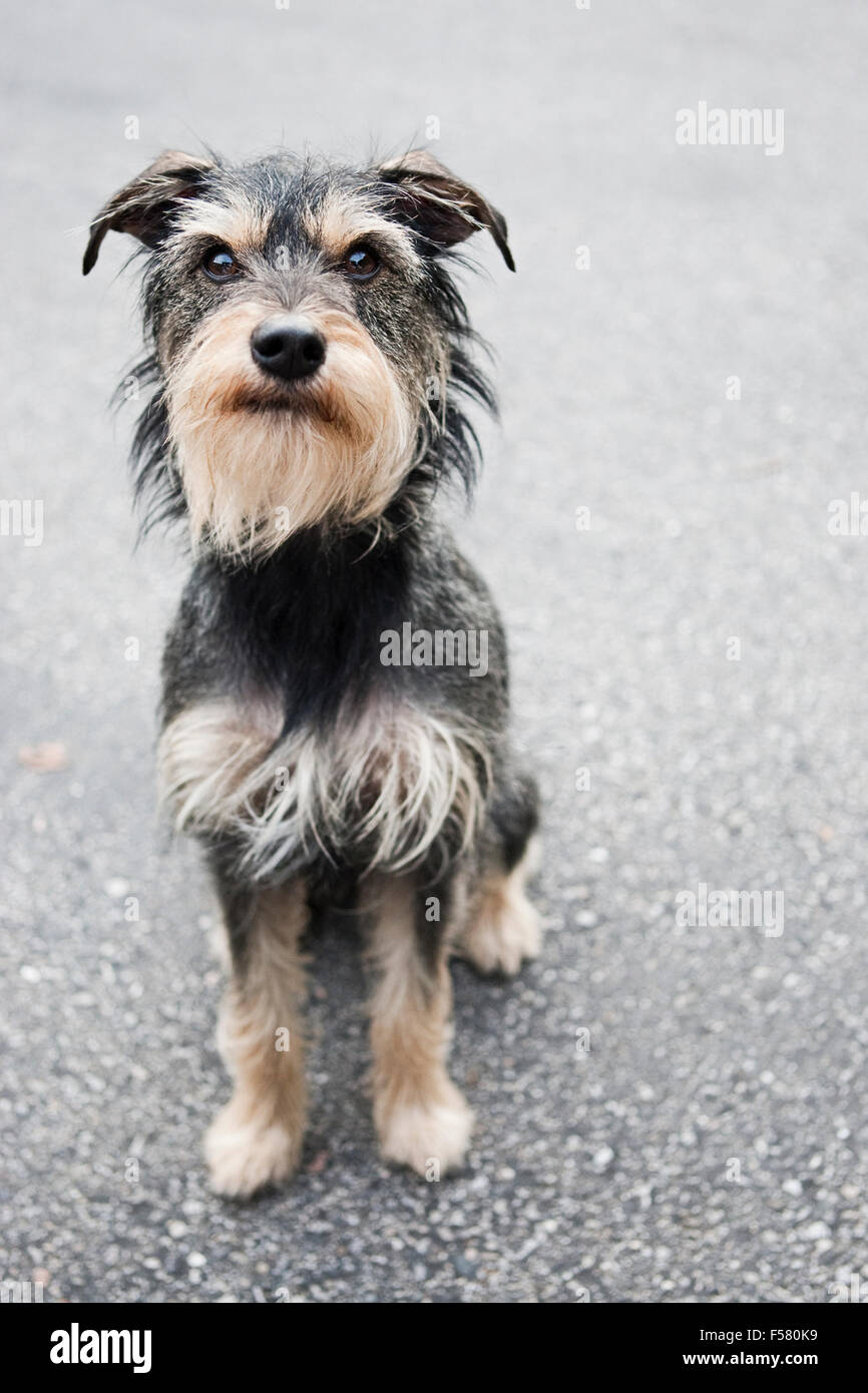 Full body adorable medium size gray wire haired terrier mix dog sitting tall on faded black asphalt facing camera - Stock Image