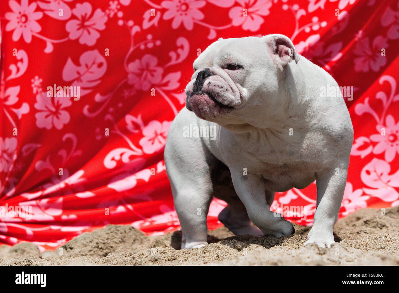 Full body of white Bulldog walking in sand at beach in front of orange floral print draped fabric looking like a - Stock Image