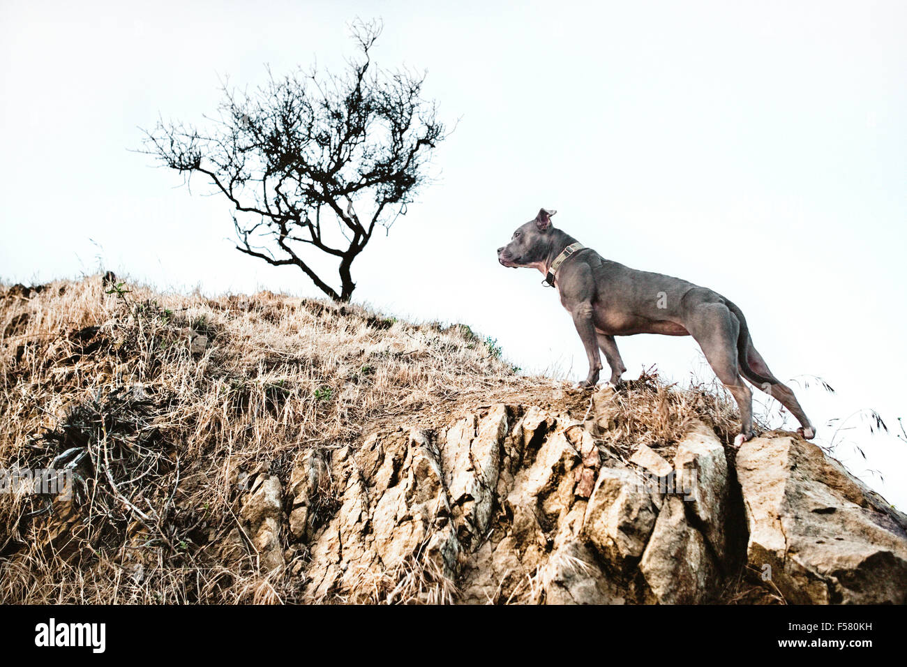 heroic posture of a dog climbing a dry rocky hillside with a lone barren tree in background - Stock Image