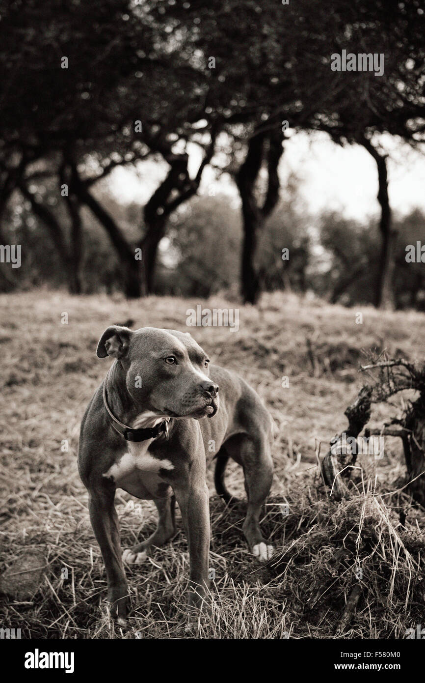 Sepia toned portrait of adult Pitbull dog standing in foreground of open dry field looking off camera with trees - Stock Image