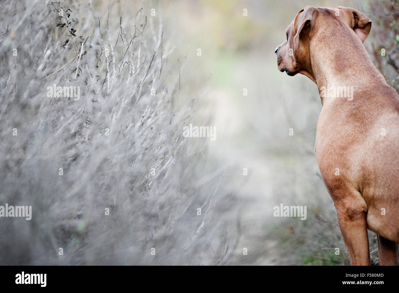 Looking over shoulder of Rhodesian Ridgeback dog in nature looking down narrow dirt trail lined with barren shrubs - Stock Image