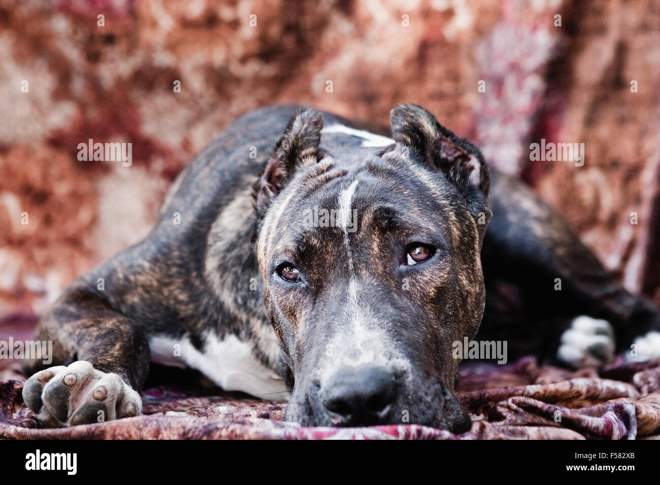 Adult Cane Corso dog laying down on a multi-colored fabric backdrop facing camera with eye contact - Stock Image