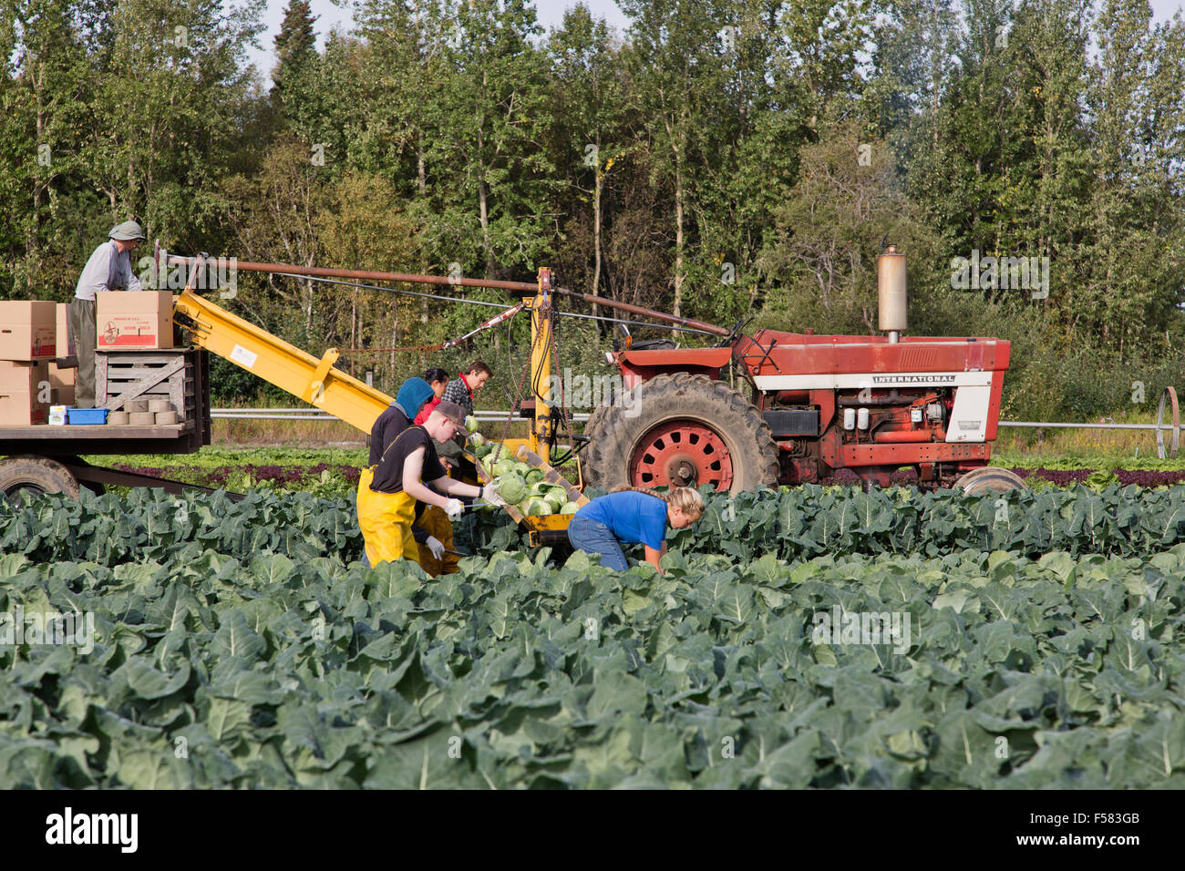 Farm workers harvesting White Cabbage 'Brassica oleracea' . - Stock Image