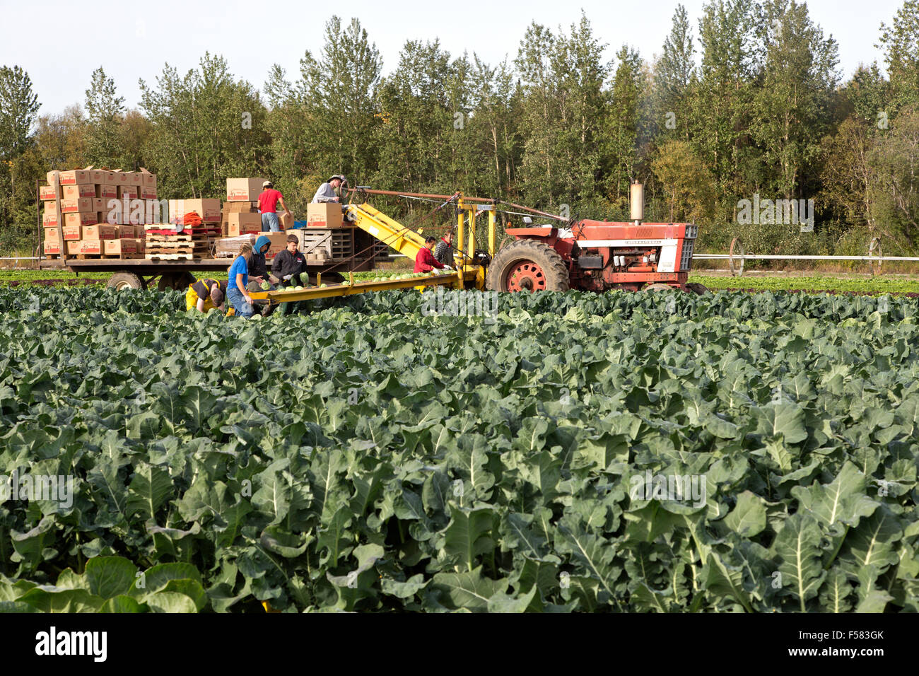 Farm workers harvesting Cabbage 'Brassica oleracea' . - Stock Image