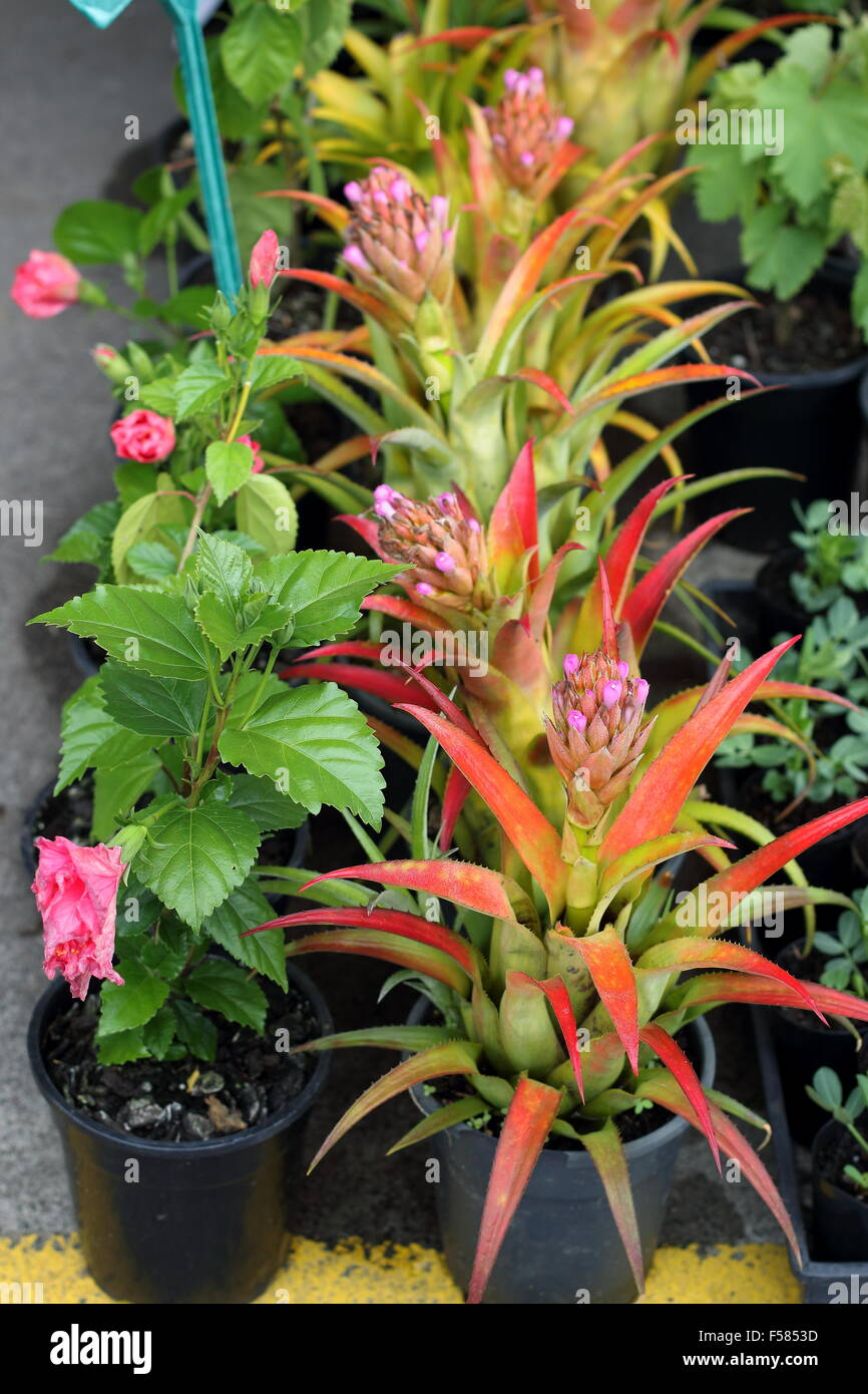Pineapple And Hibiscus Plants For Sale At Dandenong Market Victoria