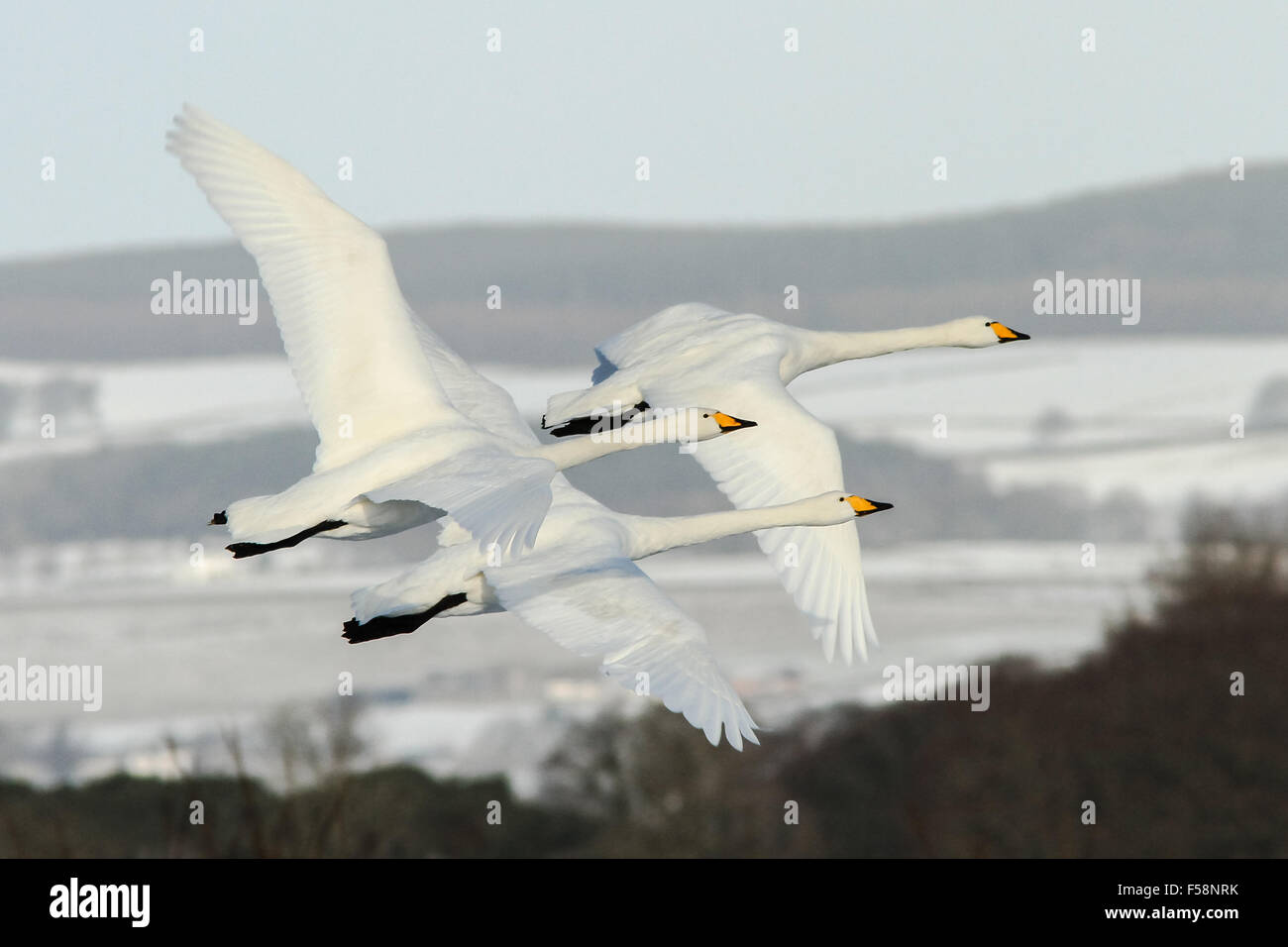 Three whooper swans in flight during their migration from Iceland to Scotland against a snow clad background - Stock Image