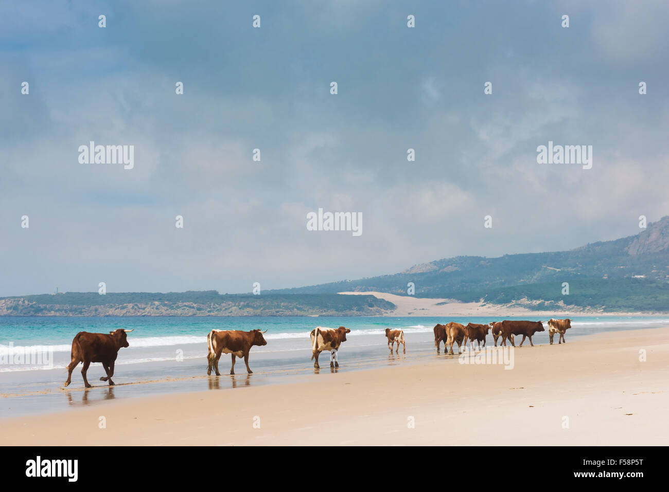 Group of cows walking along the beach. Bolonia, Tarifa, Costa de la Luz, Andalusia, Southern Spain. Stock Photo