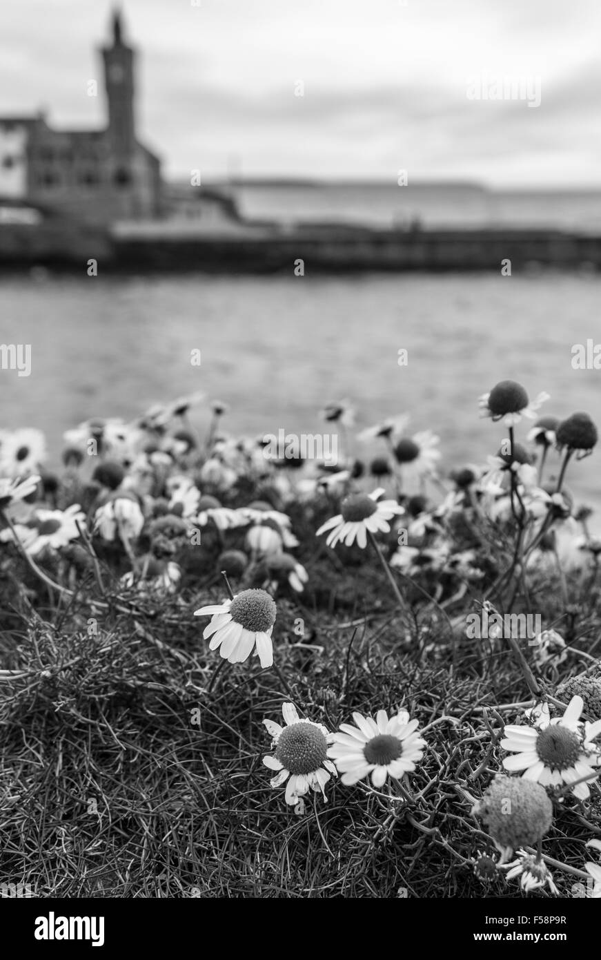 Daisies in black and white against the sea with the iconic Porthleven clock tower blurred in the background, Cornwall, - Stock Image