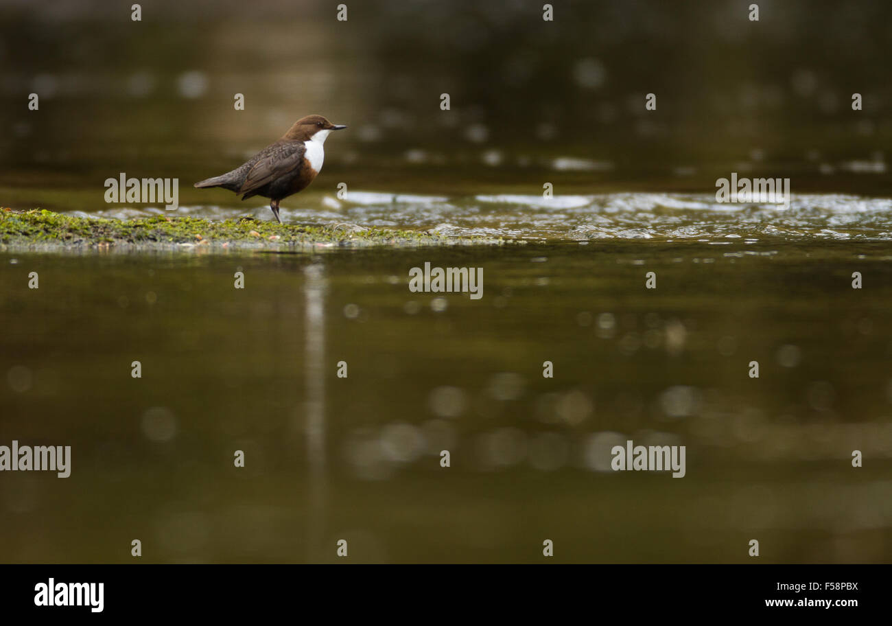 A dipper standing by the edge of a stream - Stock Image