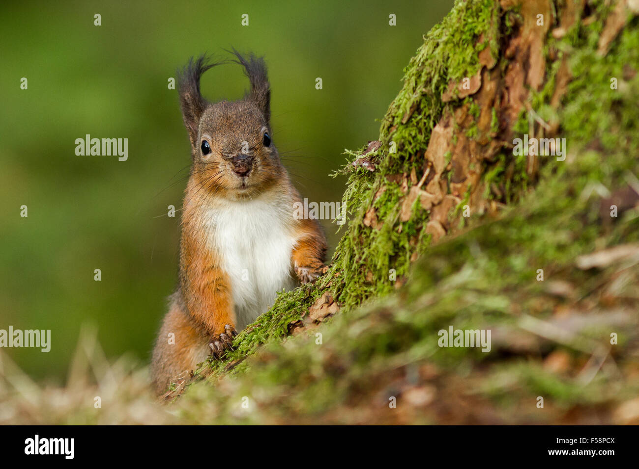 Ground level shot of an inquisitive red squirrel with tufted ears peeking out from behind a moss covered tree - Stock Image