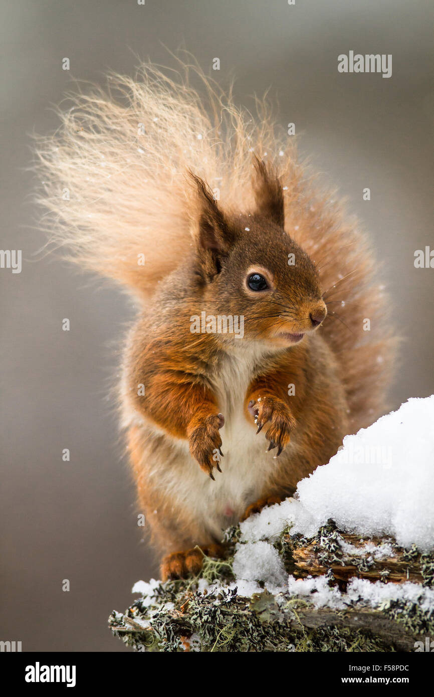 Red Squirrel in the Snow - Stock Image