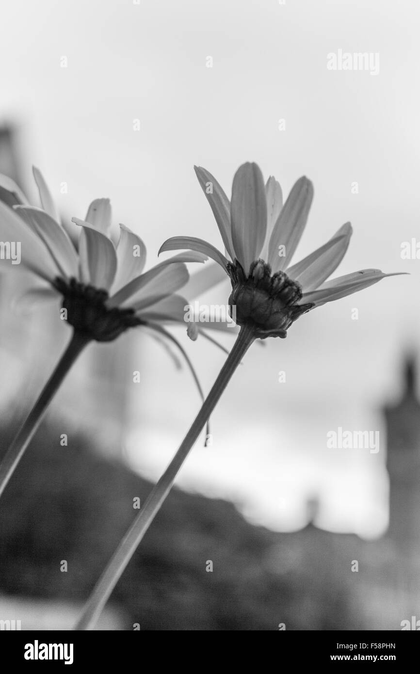 Osteospurmum in black and white against the sky with the iconic Porthleven clock tower blurred in the background, - Stock Image