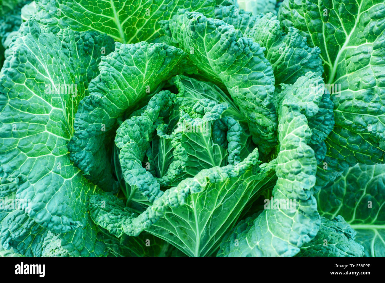 Fresh savoy cabbage, nature background - Stock Image