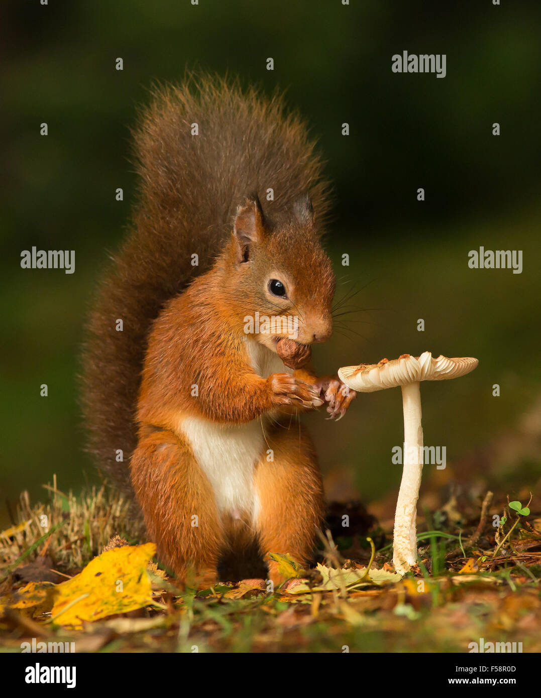 Red squirrel with a hazelnut in its mouth standing next to a toadstool giving the impression of a personal dining - Stock Image