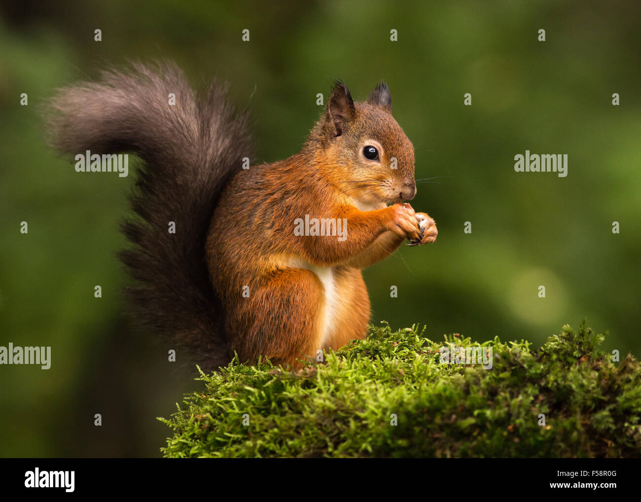 Red Squirrel on Moss Stock Photo
