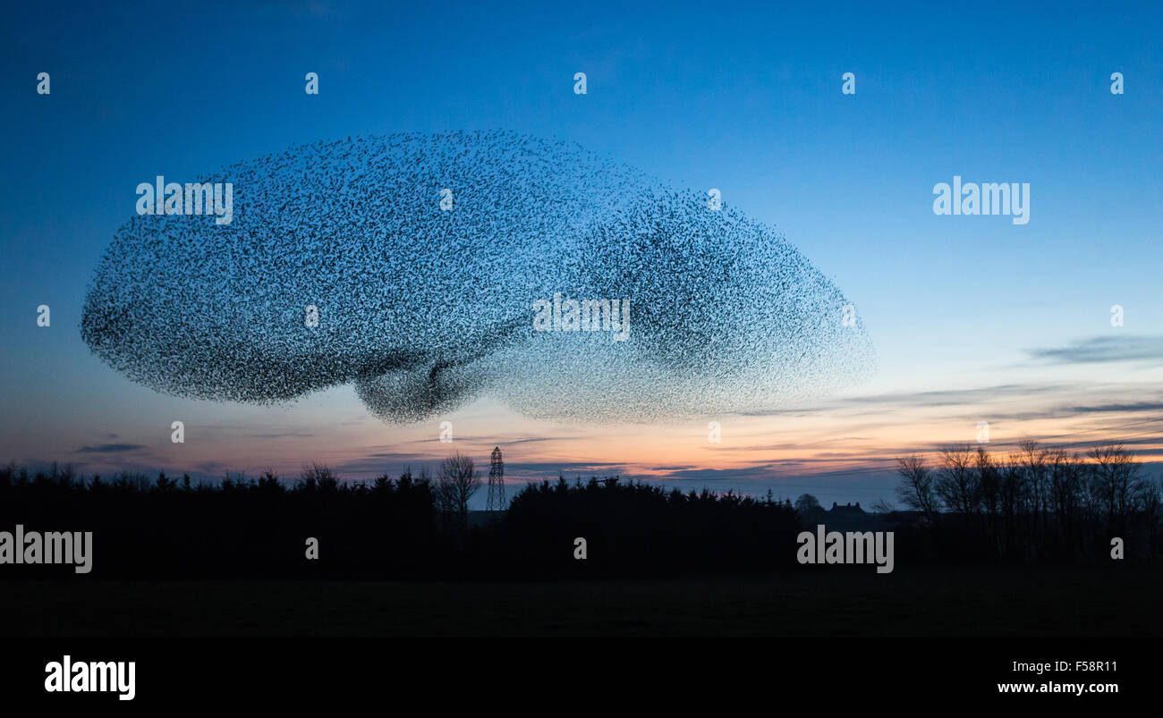 A giant flock of starlings known as a murmuration forms a UFO shape in the sky at dusk near the town of Gretna in - Stock Image