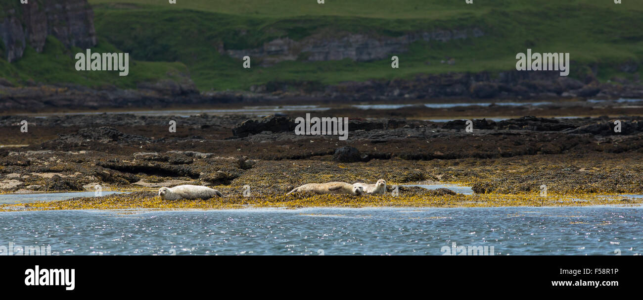 Seals lying on seaweed covered rocks off the coast of Scotland - Stock Image