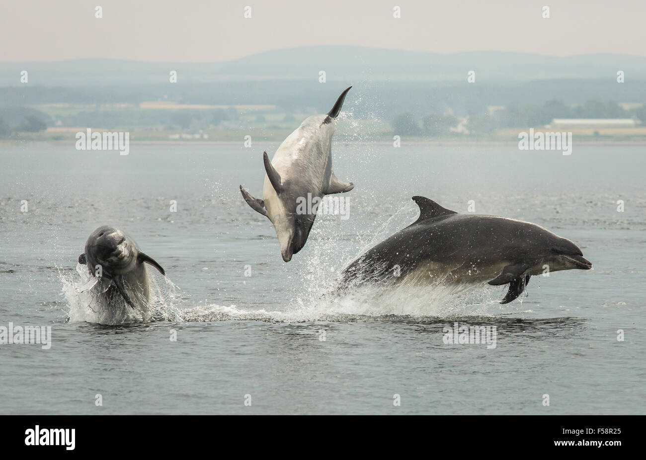 Three dolphins breaching simultaneously in the Moray Firth, Scotland. - Stock Image