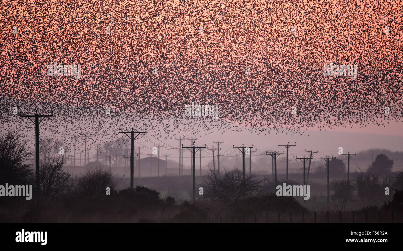 Starlings at Dusk - Stock Image