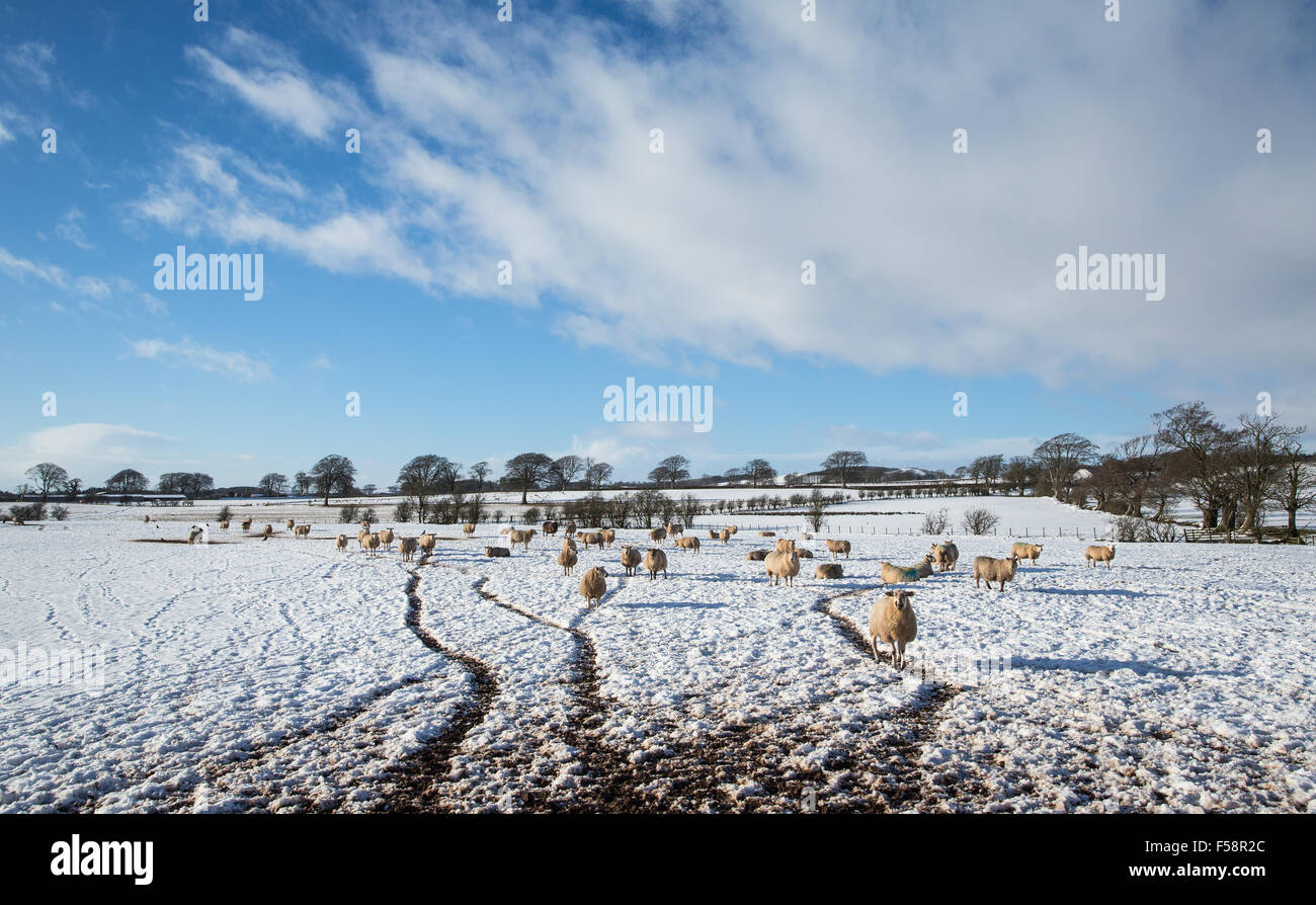 sheep in a snow covered field with farm vehicle tracks through the snow - Stock Image